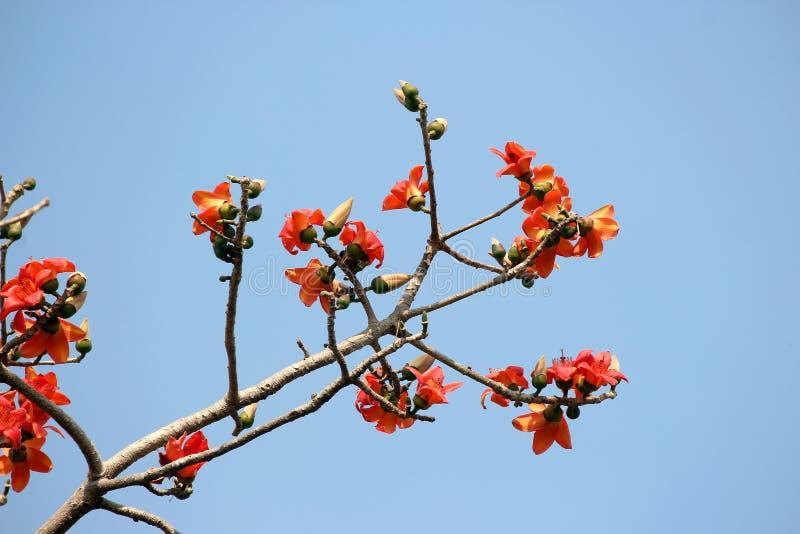 Blomma av bombaxceibaträdet eller blommabomull på träd fotografering för bildbyråer
