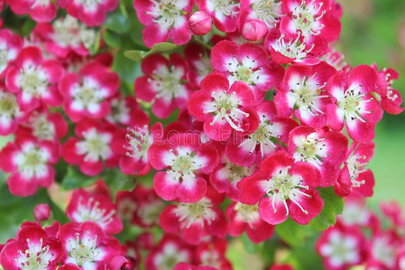 blomma av bunche royaltyfri bild