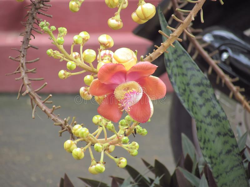Blomma av Cannonballträdet eller Sala Tree Couroupita guianensis arkivfoto