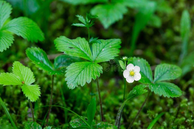 Blomma av den lösa jordgubben i sommarskogen royaltyfria foton