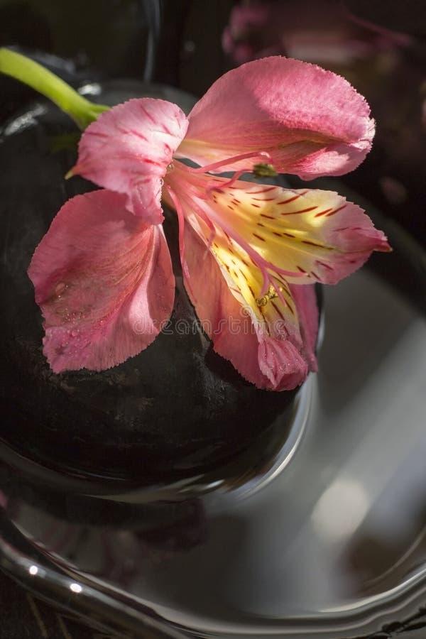 Blomma av den peruanska liljan royaltyfri fotografi