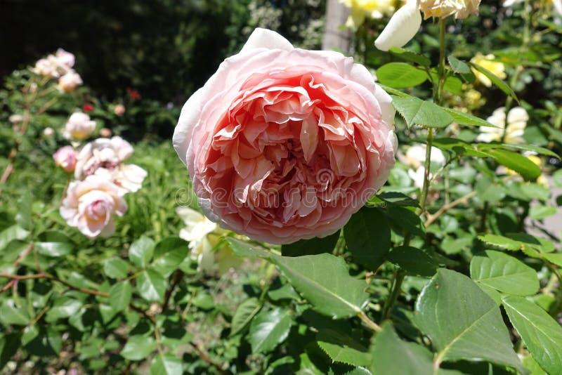 Blomma av den rosa rosen i trädgården royaltyfri bild