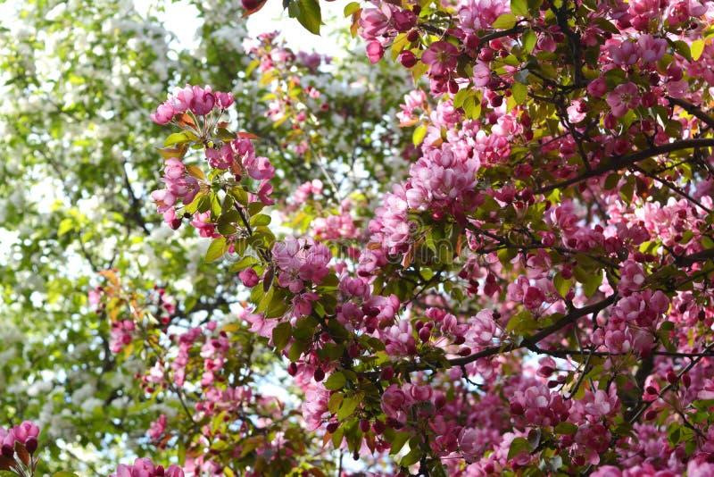 Blomma av det dekorativa äppleträdet Malus Niedzwetzkyana arbeta i trädgården täta blommor för Cherry tulpan för röd fjäder upp w arkivfoton