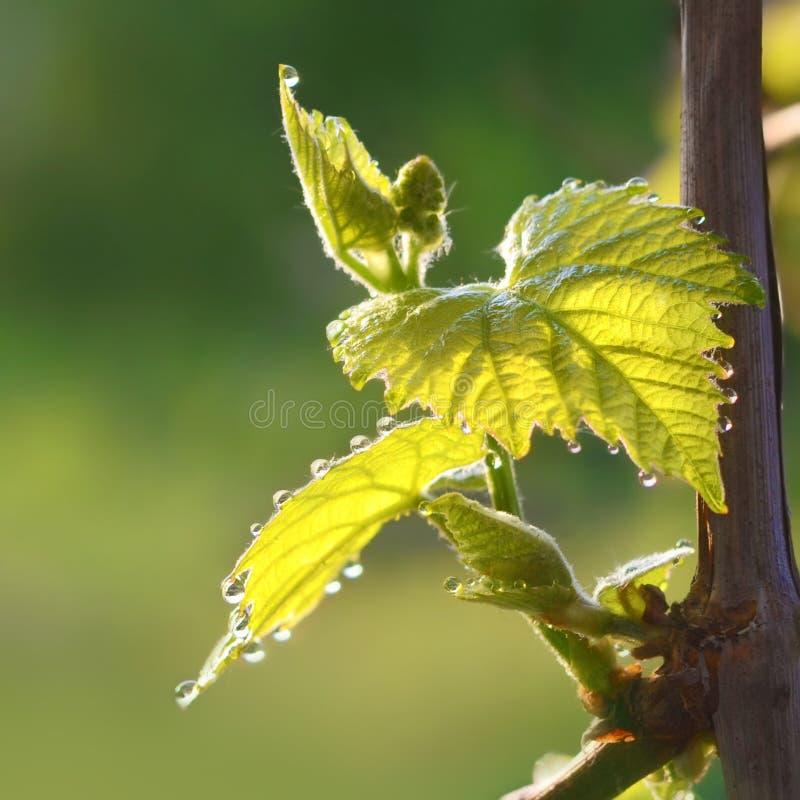 Blomma av druvan på våren Unga sidor av druvor med droppar av dagg arkivbild