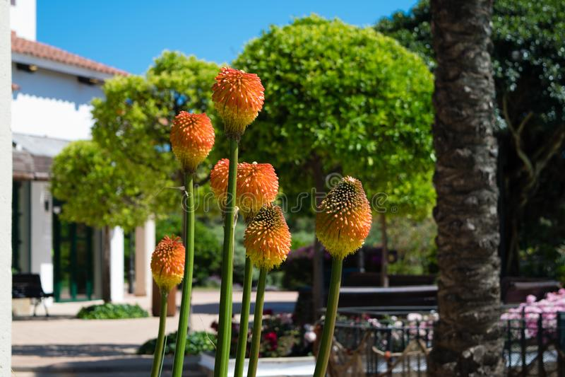 Blomma av en facklalilja, Kniphofiauvaria, Tritoma royaltyfria foton