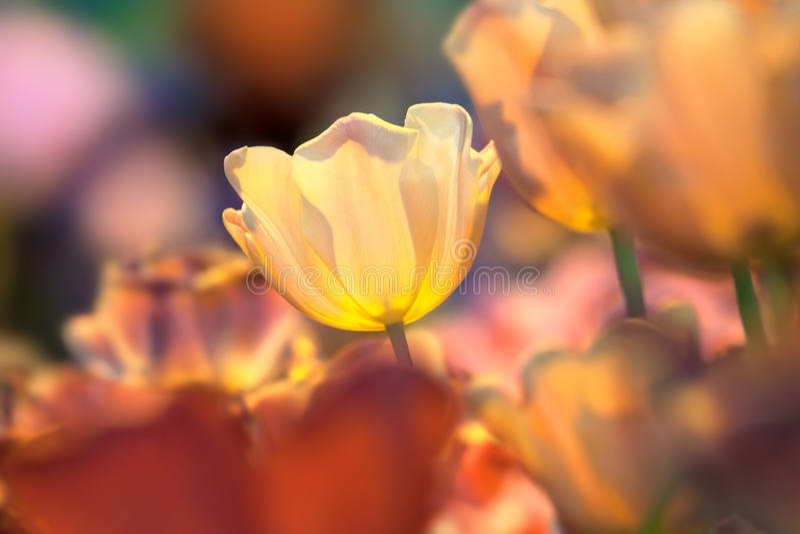 Blomma av en gul tulpan på colorfullbakgrund royaltyfri fotografi