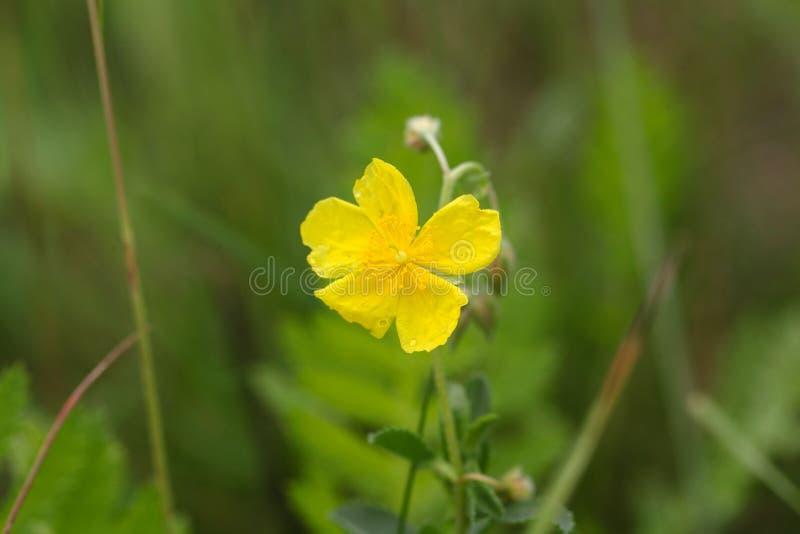 Blomma av en lökformig smörblomma arkivfoton