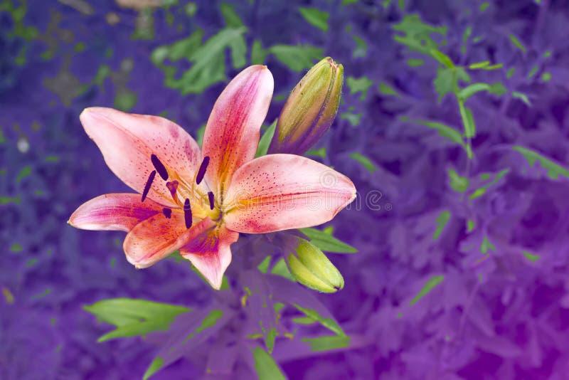 Blomma av en lilia odorata i ovanlig blått-och violett neonpalett i trädgård Panton färg 2018 arkivfoton