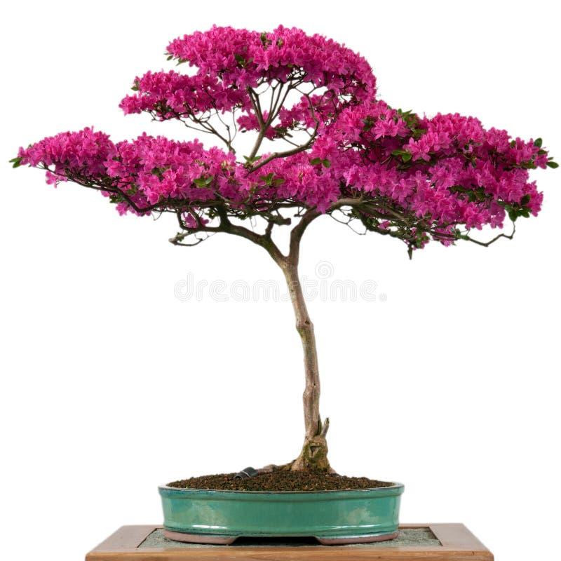 Blomma av ett alpint rosa bonsaiträd royaltyfri bild