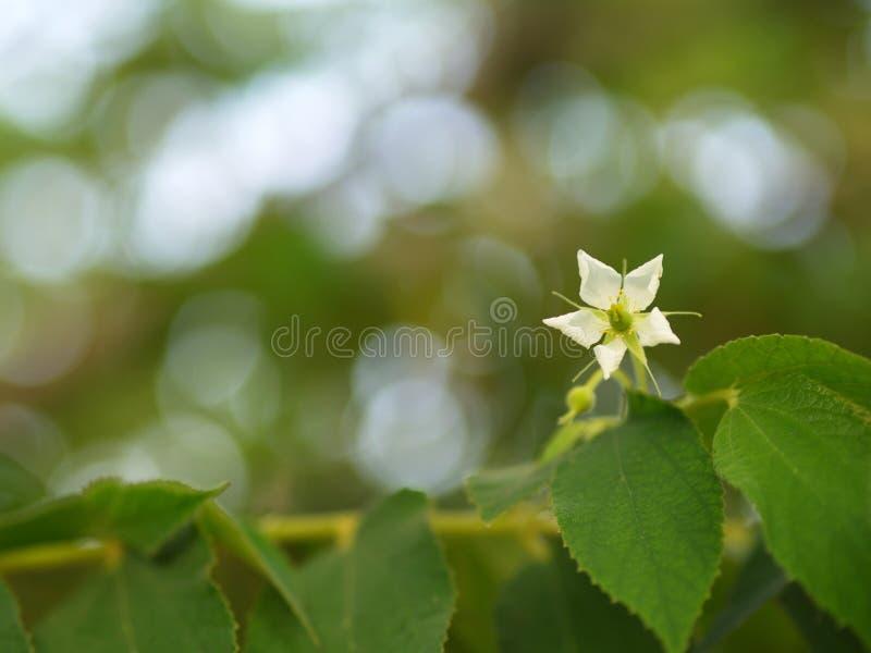 Blomma av Flacourtiarukamträdet med naturligt morgonljus och grön naturbakgrund i Thailand arkivbilder