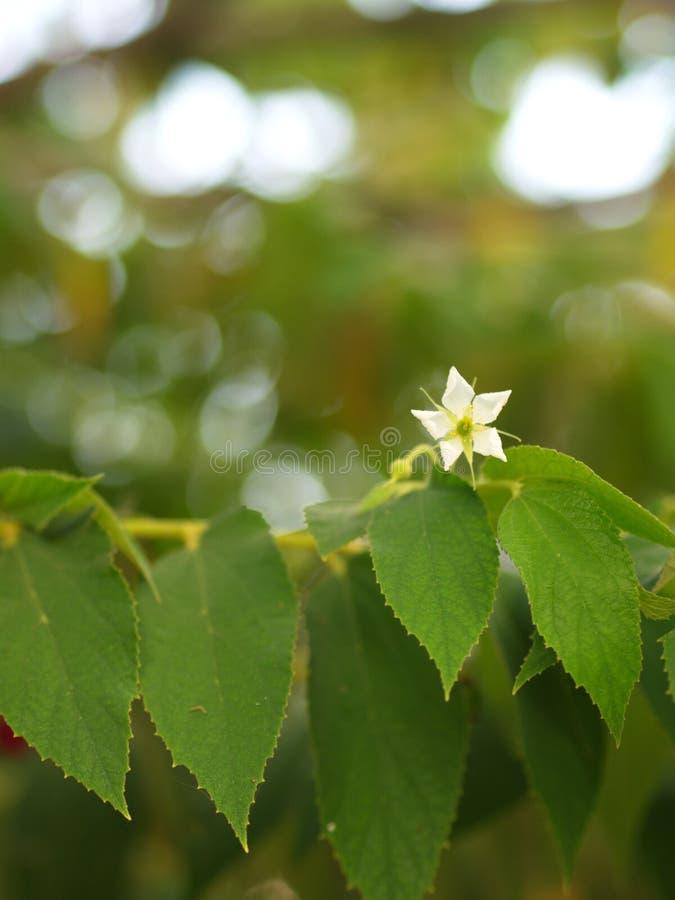 Blomma av Flacourtiarukamträdet med naturligt morgonljus och grön naturbakgrund i Thailand arkivbild