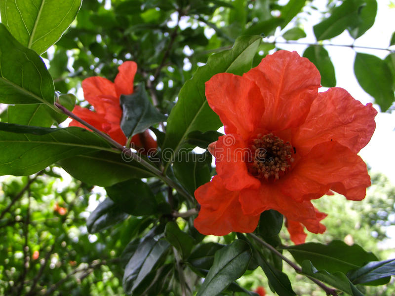 Blomma av granatäpplet fotografering för bildbyråer