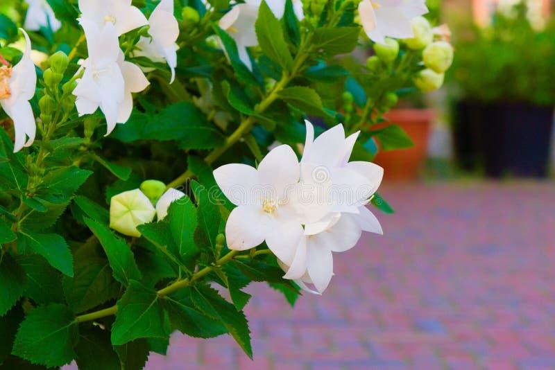 Blomma av härliga vita blommor arkivfoto