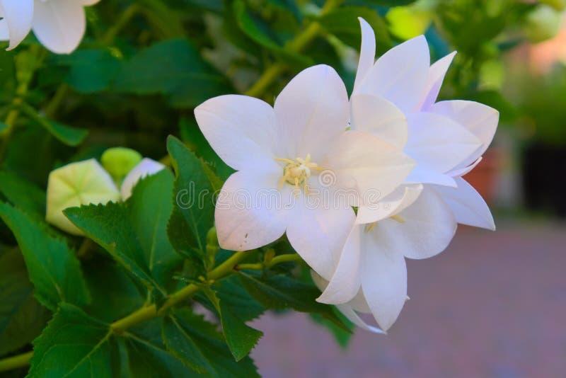 Blomma av härliga vita blommor royaltyfri foto