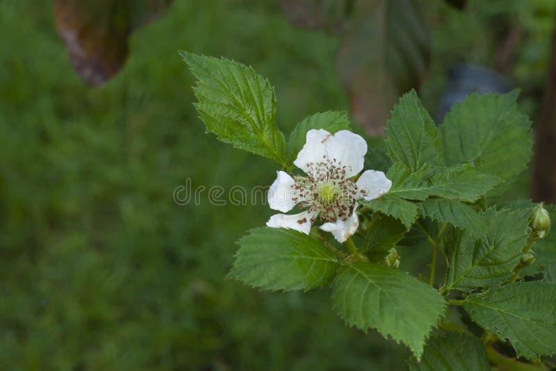 Blomma av hallonet arkivfoton