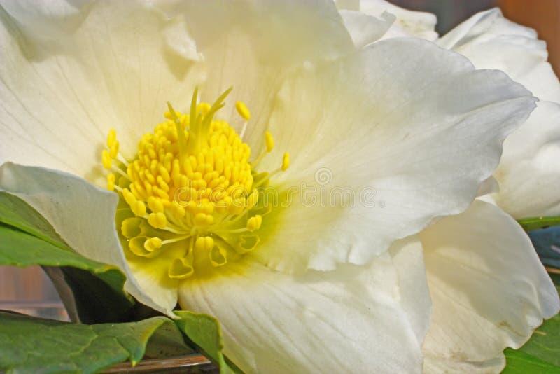 Blomma av helleboren royaltyfri fotografi
