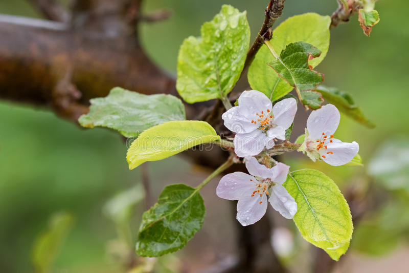 Blomma av hemmet - fullvuxna röda Fuji, hybrid- Apple, efter regnet, har växt royaltyfria foton
