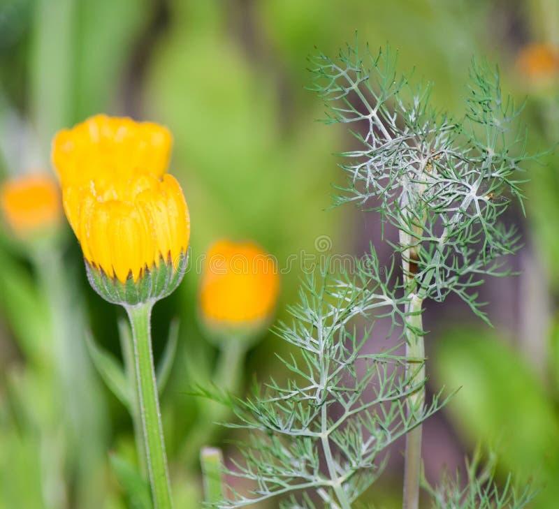 Blomma av indiankrassen i sommarträdgården fotografering för bildbyråer