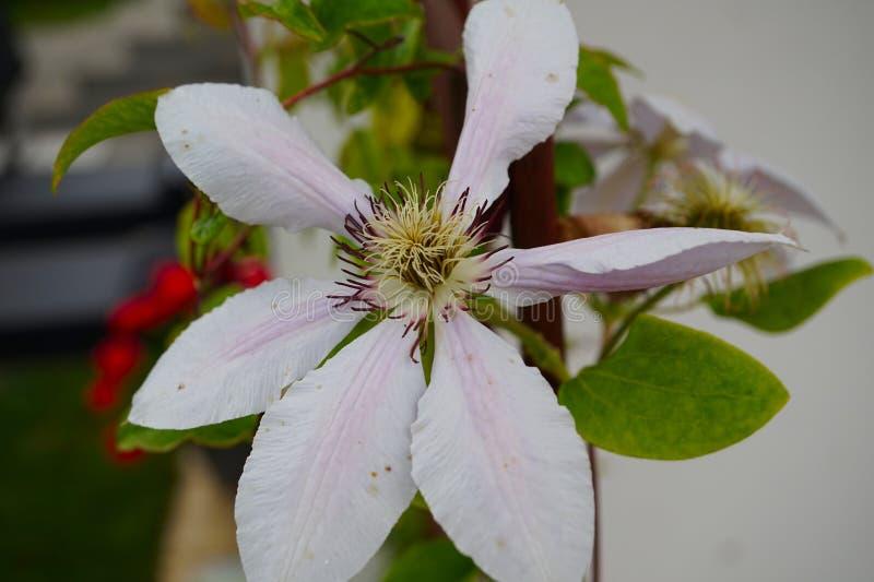 Blomma av klematis som tänds med den ljusa sommarsolen arkivbilder