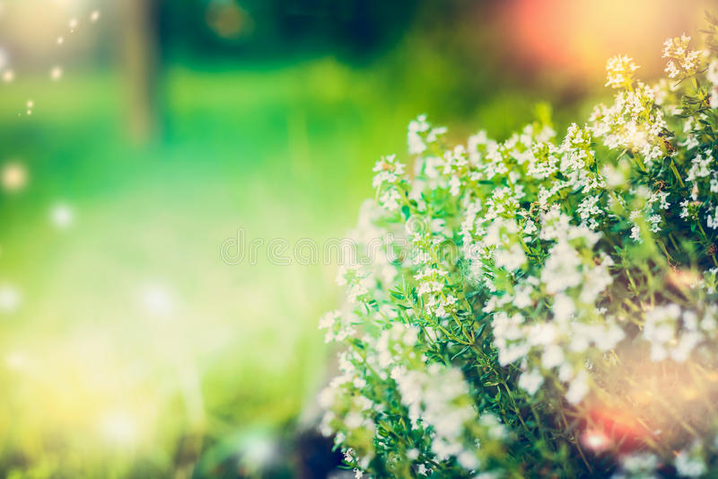 Blomma av lös timjan på suddig naturbakgrund arkivbilder