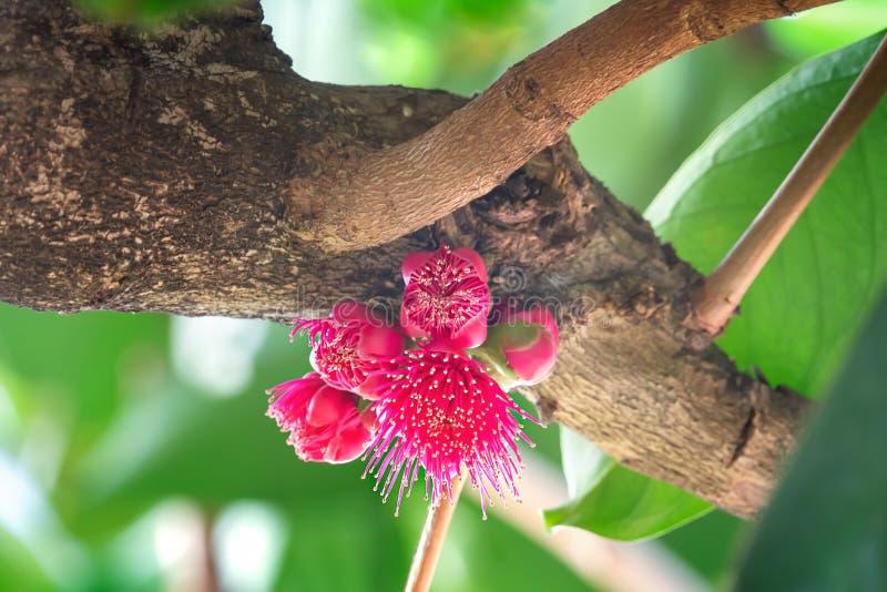 Blomma av malajiska rosa äpplefrukt arkivbild