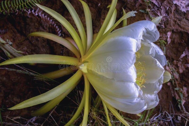 Blomma av pitayaen - drakefruktkaktus från sidan arkivfoto