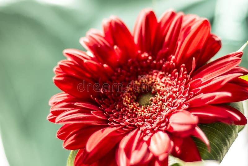 Blomma av röda Gerber arkivbild