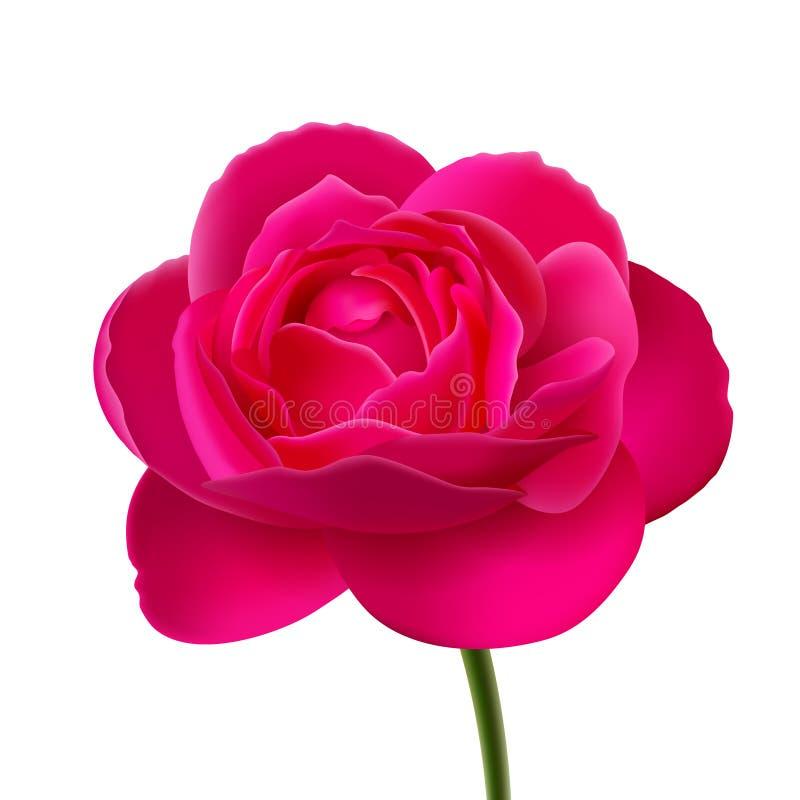 Blomma av rosa färgrosen på vit bakgrund stock illustrationer