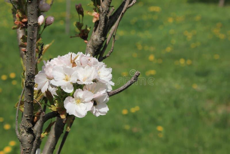 Blomma av Sakuraen royaltyfri bild