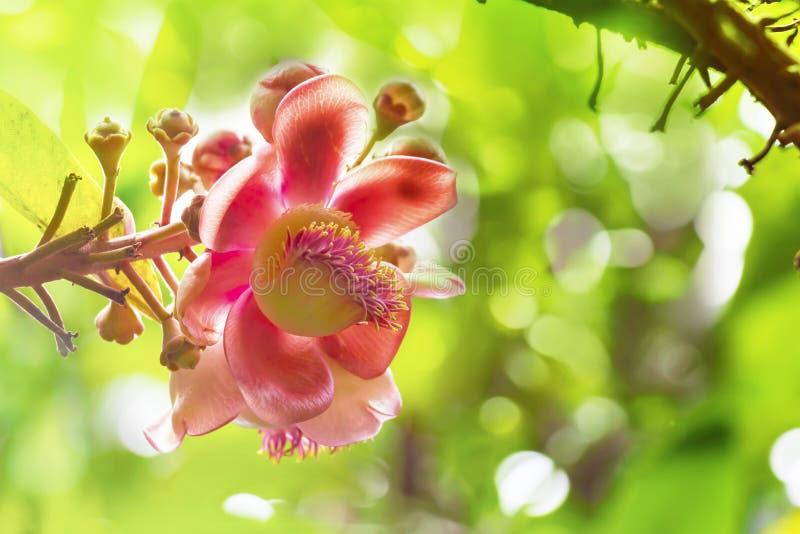 Blomma av shoreaen som är robusta eller Sala flora på Cannonballträd med royaltyfria foton