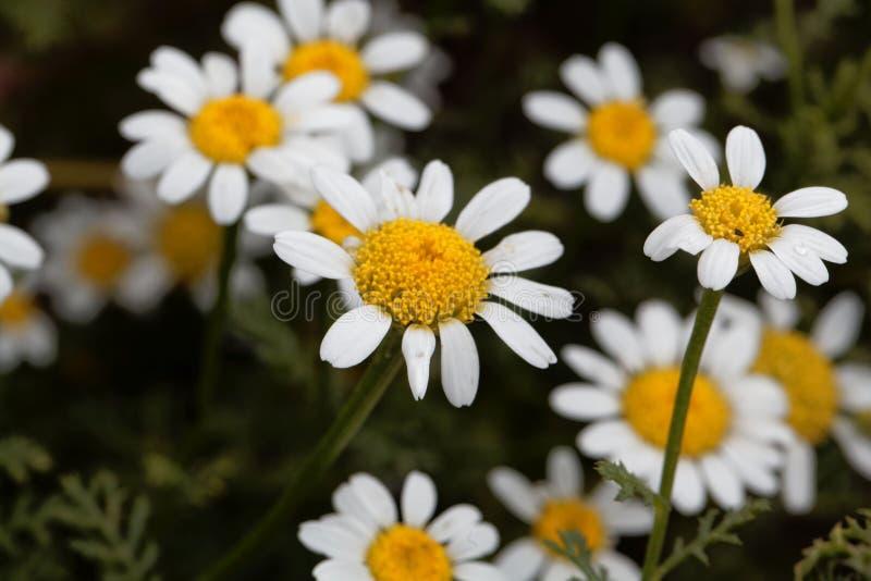 Blomma av spansk kamomillAnacycluspyrethrum fotografering för bildbyråer