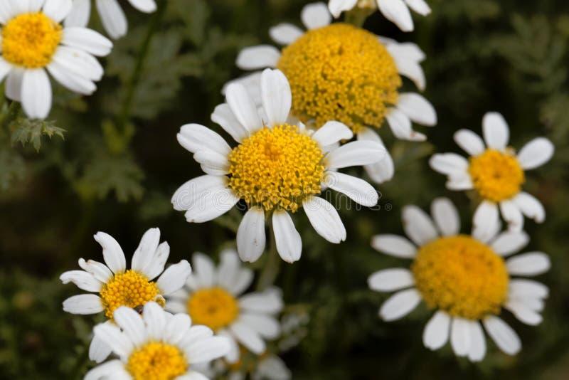 Blomma av spansk kamomillAnacycluspyrethrum royaltyfri foto