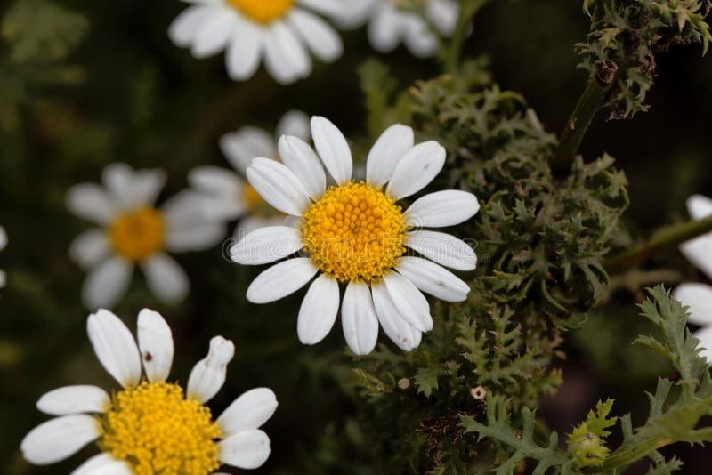 Blomma av spansk kamomillAnacycluspyrethrum arkivfoto