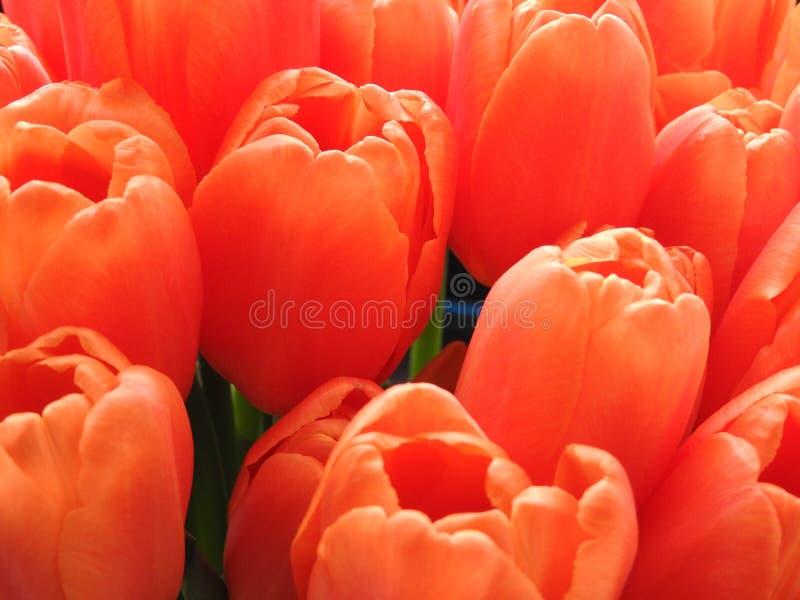 Blomma av tulpan för garneringhälsningkort och skönhet av designbegreppet av jordbruk arkivbilder