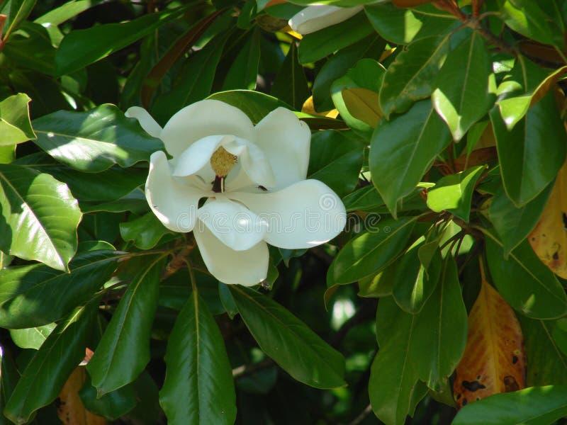 Blomma av vit magnolias blomma Grandiflora växt för magnolia royaltyfria foton
