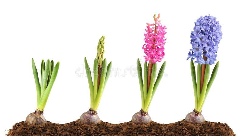 blomma blå hyacintpink royaltyfria bilder