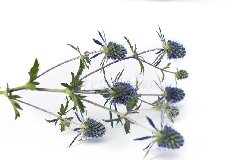 blomma blå thistle royaltyfri fotografi
