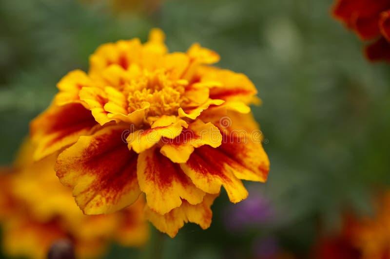 Download Blomma blomma arkivfoto. Bild av lyfta, rött, afrikansk - 285542