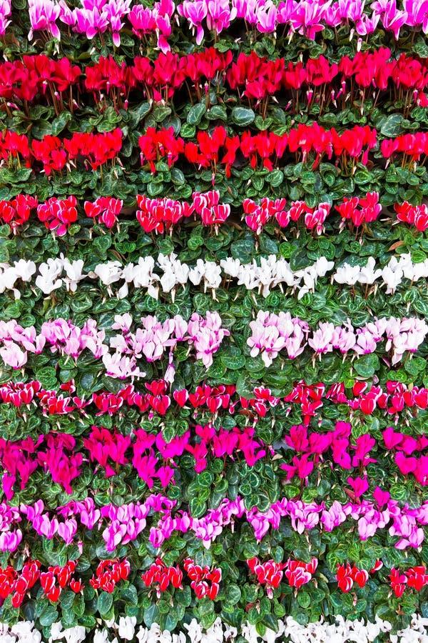 Blomma blommacyklamen i rader royaltyfri fotografi