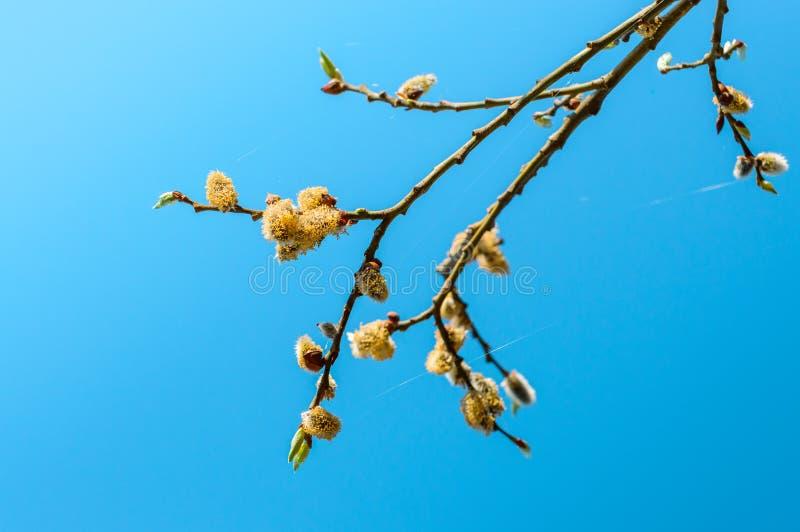 Blomma blommaknoppar på ett ungt körsbärsrött träd fotografering för bildbyråer