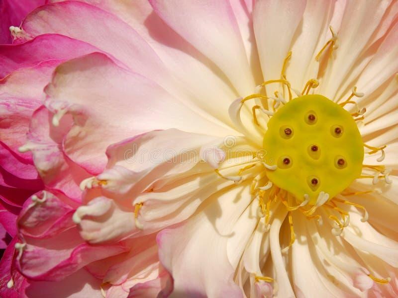 blomma blommalotusblommapink royaltyfri foto