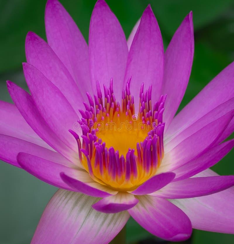 blomma blommalotusblommapink fotografering för bildbyråer