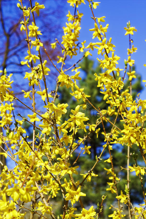 Blomma blommor av forsythia med grunt djup av fältet Våren blommar i botanisk trädgård Selektivt fokusera arkivbilder