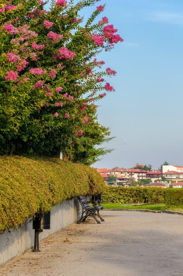 Blomma blommor av kräppmyrten och träbänken royaltyfria foton