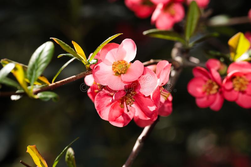 Blomma blommor f?r japansk plommon i slut f?r v?rtid upp sikt royaltyfria bilder