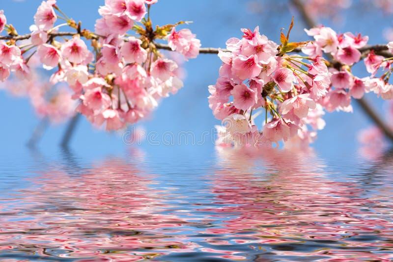 blomma blomningCherry royaltyfri fotografi