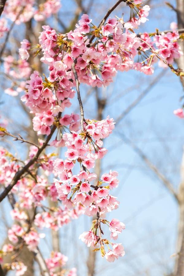 blomma blomningCherry arkivfoton