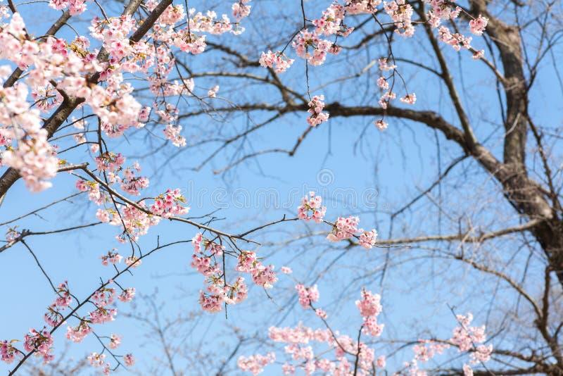 blomma blomningCherry arkivbild