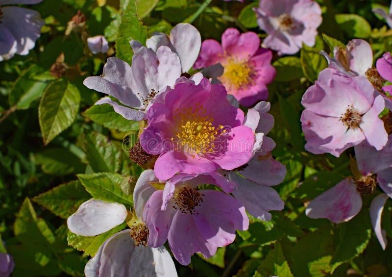Blomma blomningväxt, Rosa Canina, växt royaltyfri foto