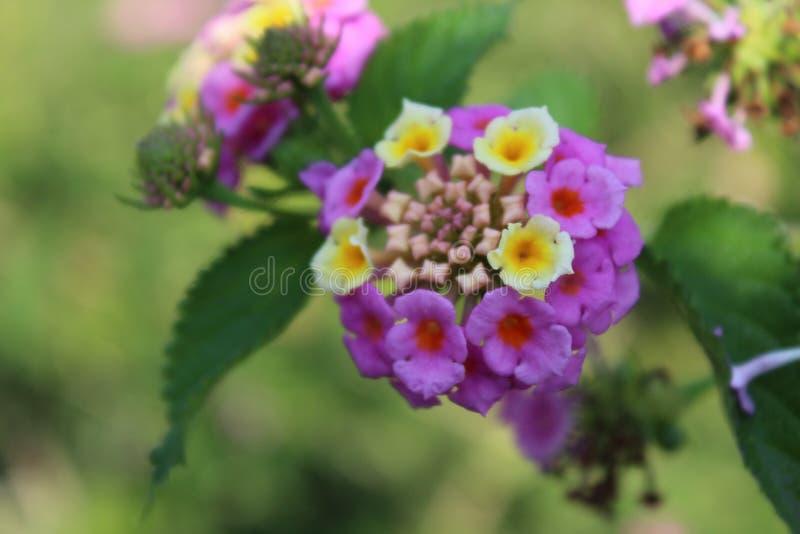 Blomma Blume, vår royaltyfria bilder